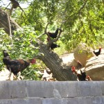 chicken on tree2