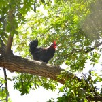 chiken on tree